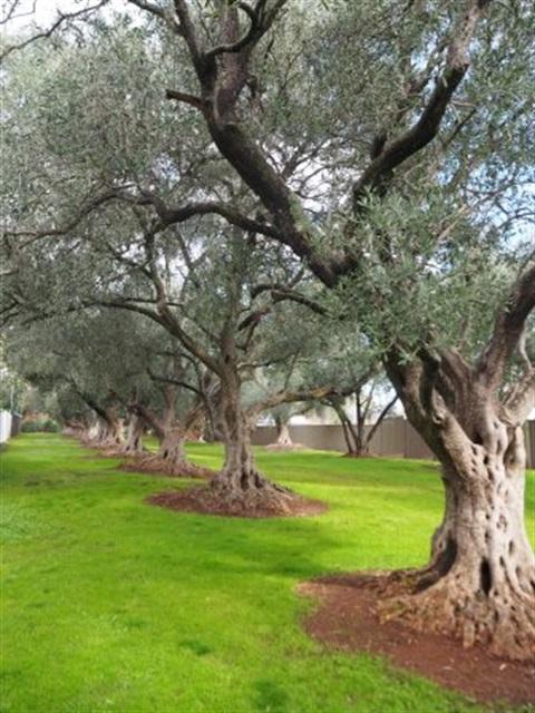 Davenport Olive Reserve - City of Burnside